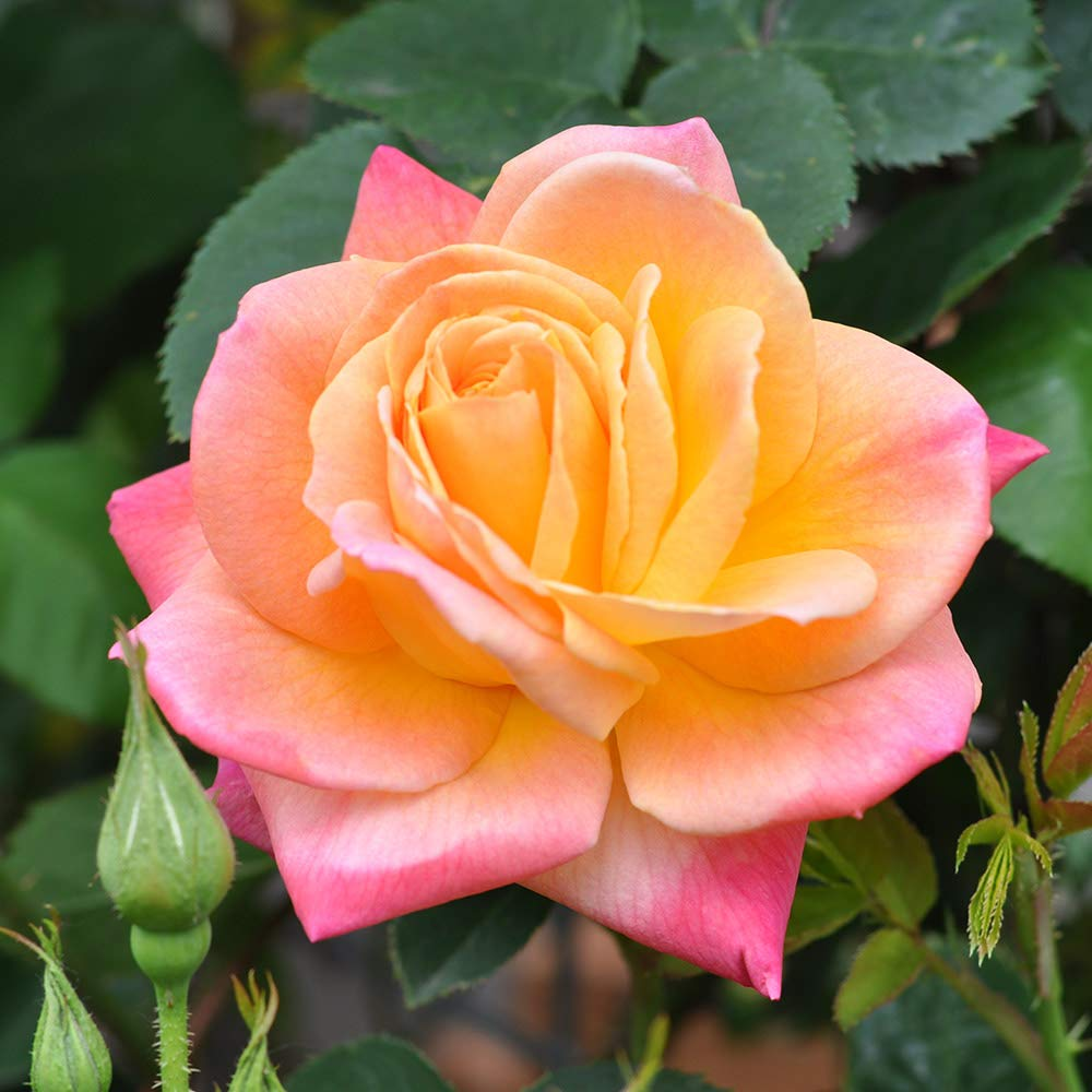 Own-Root One Gallon Joseph's Coat Climbing Rose by Heirloom Roses by Heirloom Roses (Image #1)