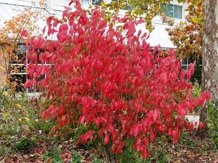 eastern-wahoo-burning-bush-euonymus-atropurpurea-10-seeds-upc-643451295702