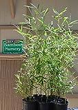 "Fast Growing Screening Bamboo -""Red Margin"" Phyllostachys Rubromarginata (2 Gallon)"