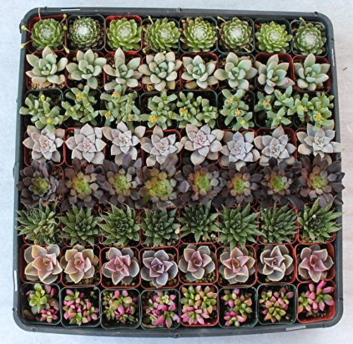 Jiimz Beautiful 96 Wedding Succulents Collection for Favors by JIIMZ Wediing Succulents (Image #1)