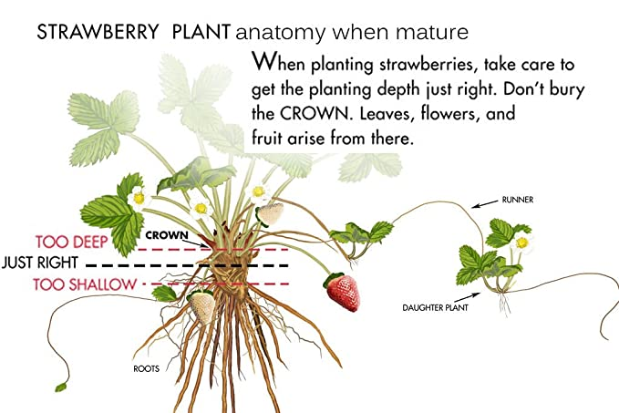 Amazon 100 Jewel Strawberry Plants Bare Root Strawberries