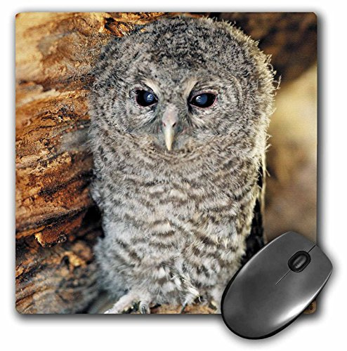 - 3dRose LLC 8 x 8 x 0.25 Inches Tawny Owl, Strix Aluco One Month Young Owl Aragon Spain Mouse Pad (mp_9903_1)