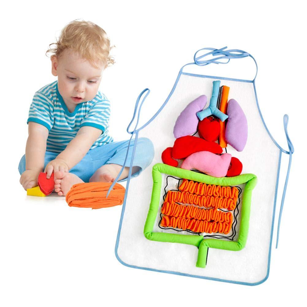 Fr/üherziehung Lehrmittel Kinder Puzzle Aufkl/ärung Sch/ürze Anatomie Sch/ürze Menschlicher K/örper Sch/ürze Blue-Yan 3D Orgel Sch/ürze