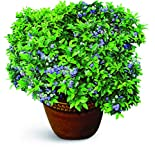"Burpee Blueberry 'TopHat' Plant. Perfect for Patio Containers. One Plant in a 5"" pot"