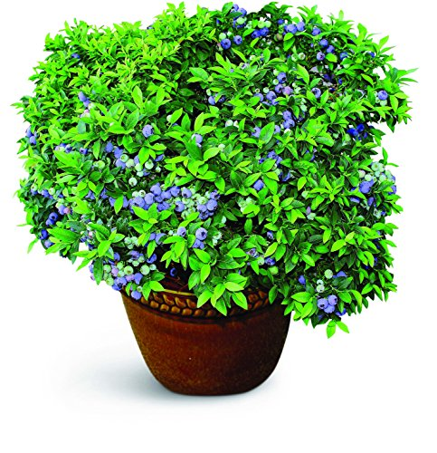 """Burpee Blueberry 'TopHat' Plant. Perfect for Patio Containers. One Plant in a 5"""" pot"""