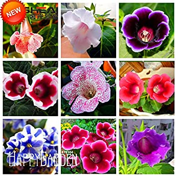 Japanische Iris Japonica Blumen-Samen Weiße Iris Orchidee Samen ...