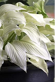 Amazoncom Hosta White Feather Spring Planting No 1 Size 1