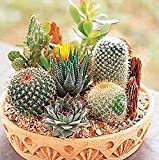 2016 new 100 Pcs Cactus Seeds Mix Organic Ornamental Seed Rare succulents, can purify the air and prevent radiation