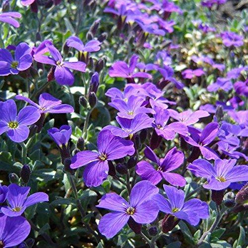 100pcs Purple Flower Aubrieta Hybrida Seeds Garden Perennial Ground Cover Plant / 100pcs Garden Purple Flower Aubrieta Hybrida Seeds . . Aubrieta hybria, also calls rock cress, is a perennial he
