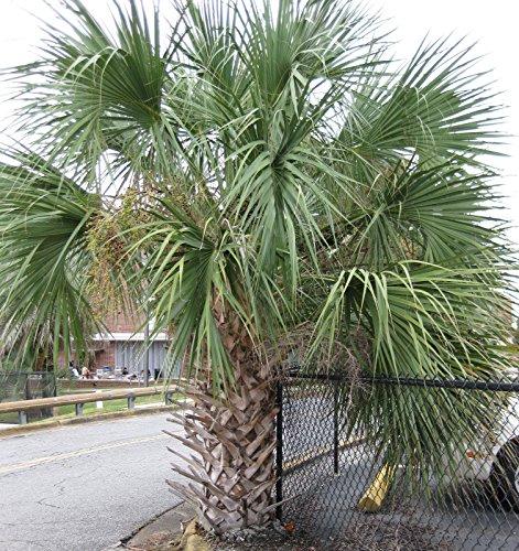 FLORIDA QUALITY SABAL PALMETTO PALM TREES COLD HARDY 10 F - 2 PACK