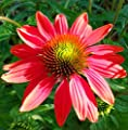 Spring Ballet Coneflower Seeds (Echinacea) 50 Seeds Upc 650327337466
