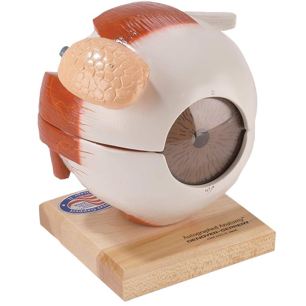Eye Five Part Eyeball Anatomical Model Amazon Industrial