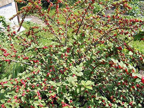 dwarf-nanking-cherry-tree-shrub-2-3-ft-flowering-fruit-trees-live-plants