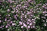Rock Soapwort Rose-pink Flower Seeds (Saponaria Ocymoides) (800)