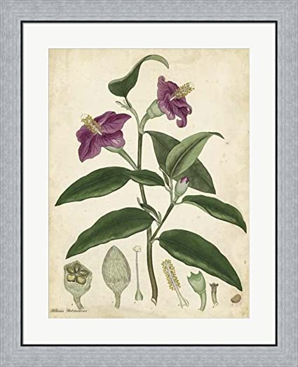 Amazon.com: Antique Hibiscus by Henry Andrews Framed Art Print Wall ...