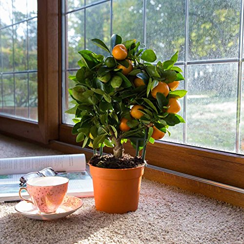 (Mandarin *Ambizu*) 20pcs Edible Fruit Mandarin Bonsai Tree Seeds, Citrus Bonsai Mandarin Orange Seeds