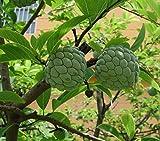 NA DAI Sugar Apple Annona Squamosa Tropical Fruit Tree