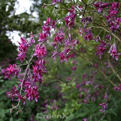 Zweifarbiger Buschklee Summer Beauty 30-40cm Lespedeza bicolor