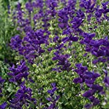 Outsidepride Salvia Blue Monday - 1000 Seeds