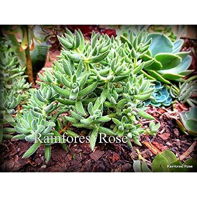 1 Crassula mesembryanthemoides Cutting Fuzzy White Hair Plant Cactus Succulents : Garden & Outdoor
