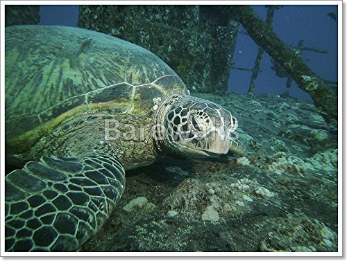 Close Up Of A Large Green Turtle Resting On A Ship Wreck, Oahu, Hi, Usa Paper Print Wall Art Paper Print Wall Art (30in. x 40in.) by barewalls
