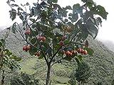 Cyphomandra betacea | Tamarillo | Tree Tomato| 10_seeds