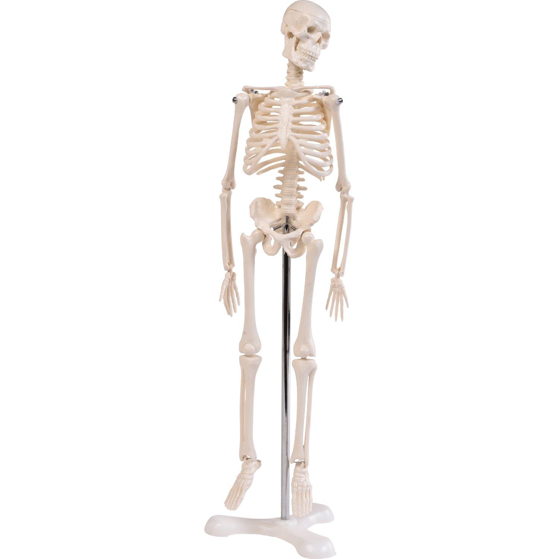 """Anatomie Modell """"Menschliches Skelett"""",klein, ca. 45 cm, geeignet ..."""