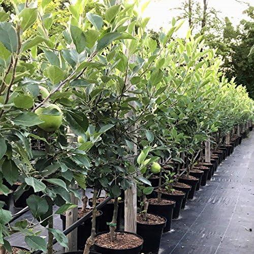 Apfelbaum Roter James Grieve Sommerapfel Buschbaum 150-170 cm 10 L Topf auf M7