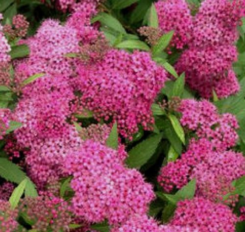 Anthony Waterer Spirea (1 shrubs Anthony Waterer Spirea Bush 1 foot tall bareroot branched)