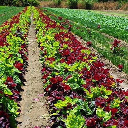 kakroz Aurora Orach Mix OG (38 Days) Superb in Salads or Cooked as a Green,Open-pollinated,Mountain Spinach,French Spinach, Sun Loving Vegetable (sml Packet- 100 Seeds)