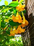 5 Angel's Trumpet Tree Seeds Buy One Get One Free /