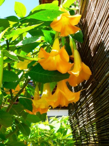 Amazon 5 angels trumpet tree seeds buy one get one free 5 angels trumpet tree seeds buy one get one free mightylinksfo
