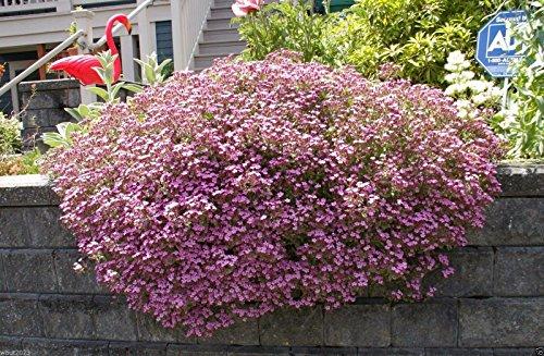 Pink Flower Carpet Rose (5000 Seeds Rock Soapwort, Saponaria Ocymoides,Flowers Seeds,Dense carpet of rose-pink bloom)