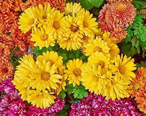 Crisantemo indio con flores dobles. - 120 semillas: Amazon.es: Jardín
