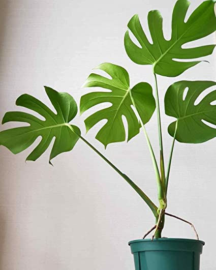 Amazon com : 100pcs Monstera deliciosa Garden Seeds Bonsai Turtle