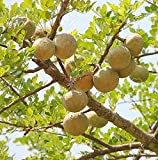 Bael Fruit Tree 8 Seeds - Aegle - Wood Apple