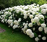 Annabelle Smooth Hydrangea - Live Plant - Trade Gallon Pot
