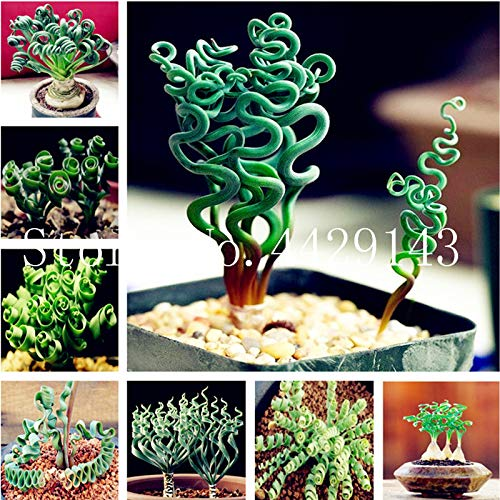 Kasuki 200 Pcs Spring Grass Plant Succulents Plant Grass DIY Seed Potted Garden Home Exotic Plant Spiral Grass Ornamental Seed - (Color: Mixed)