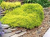 "Archers Gold Thyme Herb - 4"" Pot - Stepables - Golden Foliage - 1 Plant"