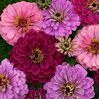 50+ Art Deco Mix Zinnia Flower Seeds / Long Lasting Annual / Maroon, Pink, Lavender : Garden & Outdoor