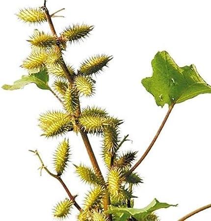 Flores Paisaje para cercas,Maceta para Plantas de jardín/Interiores,Semillas de Xanthium sibiricum Medicina Herbal China Semillas de Xanthium Silvestres jardín de Flores verdes-30 cápsulas: Amazon.es: Hogar