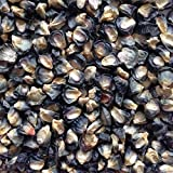 #1268GIANT BLUE CORN 35 seeds #1268