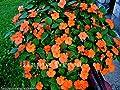 Busy Lizzie Orange - Baby Series -170 Seeds - Impatiens walleriana top Flowering