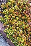 Sedum Rupestre, Sedum Reflexum, Jenny's Stonecrop 500 Seeds, Evergreen Perennial !