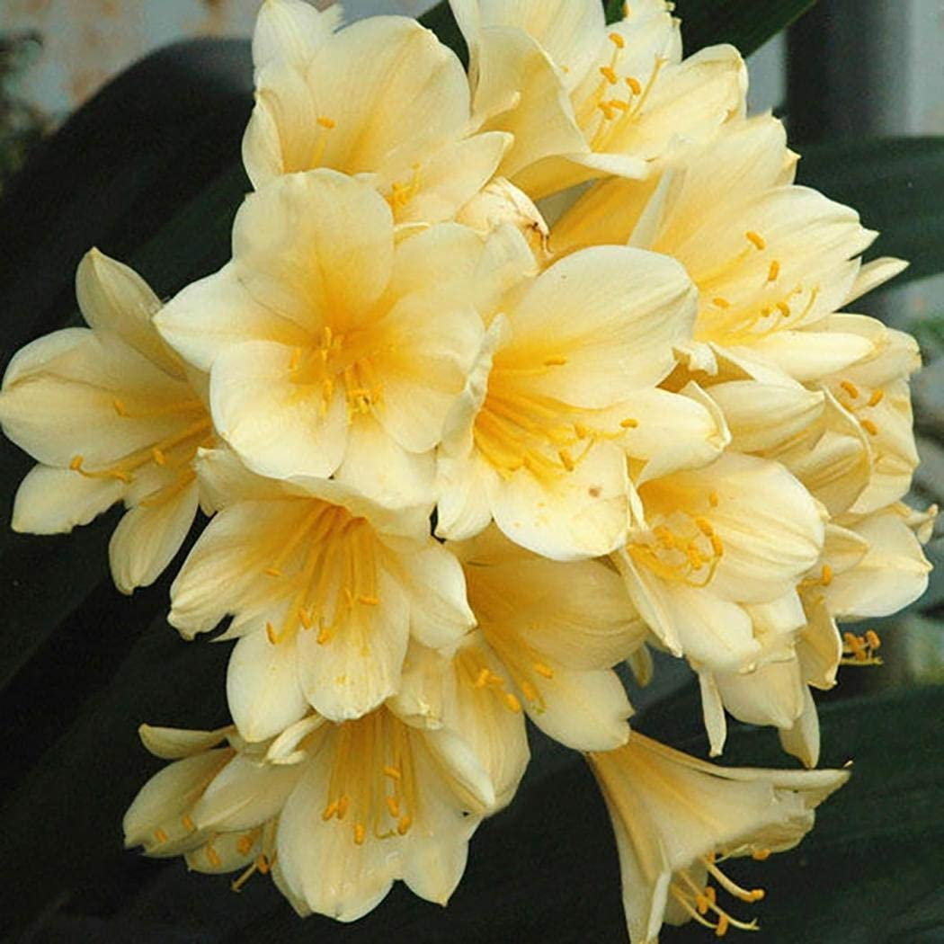Terassen 50 St/ück Immergr/üne Clivia Samen Topfpflanzen Clivia Bonsai mehrj/ährige winterhart f/ür Ihr Garten Ultrey Samenshop Balkon