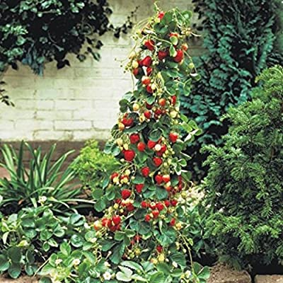 Fercisi 100pcs/Bag Strawberry Seeds Rare Bonsai Giant Climb Fruit Seeds Indoor Garden Fruits : Garden & Outdoor