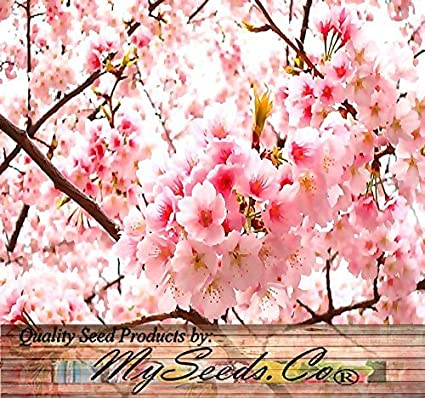 Amazon 10 japanese cherry tree pink cloud oriental sweet 10 japanese cherry tree pink cloud oriental sweet prunus serrulata flower seeds mightylinksfo