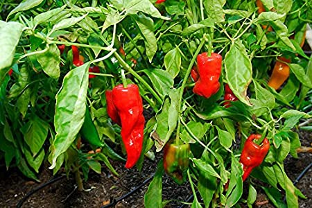 Amazon.com: Pimiento De Padron & Shishito Peppers 30+ Fresh ...