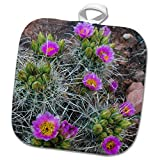 3dRose Danita Delimont - Cactus - Usa, Utah, Arches NP. Whipples Fishhook Cactus blooming and with buds. - 8x8 Potholder (phl_260304_1)