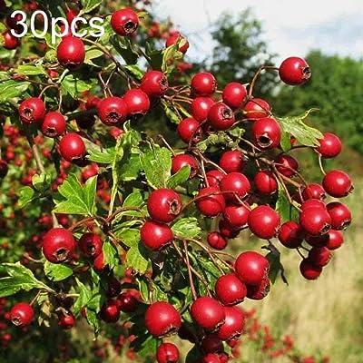 Plant Seeds for Planting 30Pcs Hawthorn Seeds Crataegus Tree Bonsai Edible Fruit Home Garden Yard Plant : Garden & Outdoor